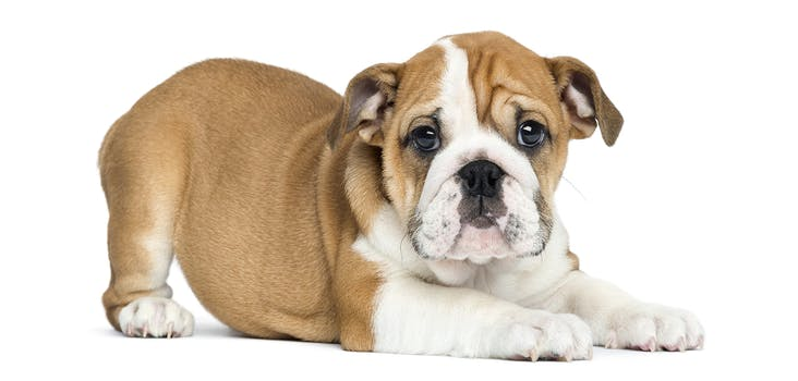 Q 4. What breed of dog is this puppy? Type your answer in below!